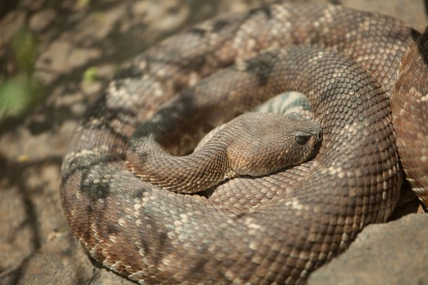 Snakes in San Diego County